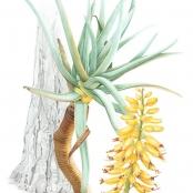 Sold | Eloff, Wilna | Aloe Dichotoma