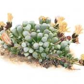 Sold | Eloff, Wilna | Fenestraria rhopalophylla